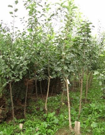 Саженцы алычи в питомнике