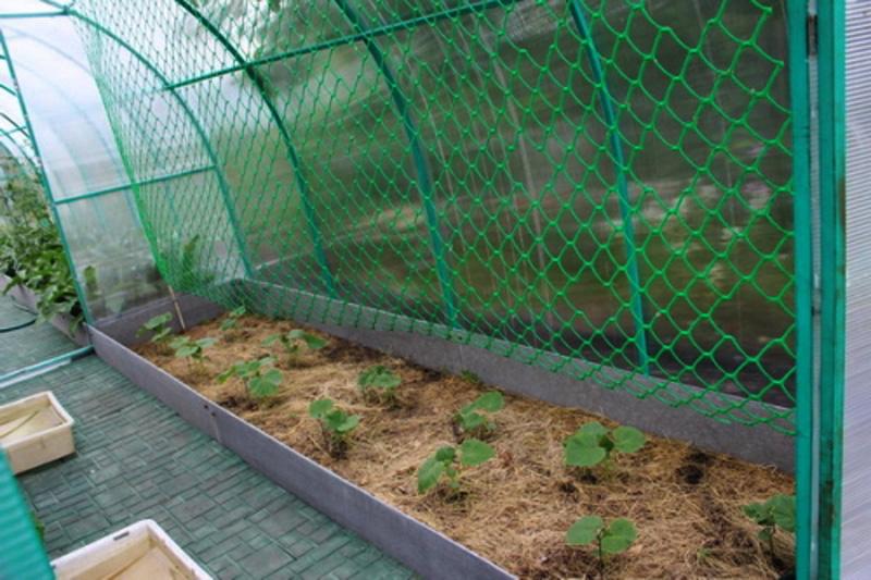 Использование сетки в выращивании огурцов 16