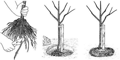 Схема посадки саженца