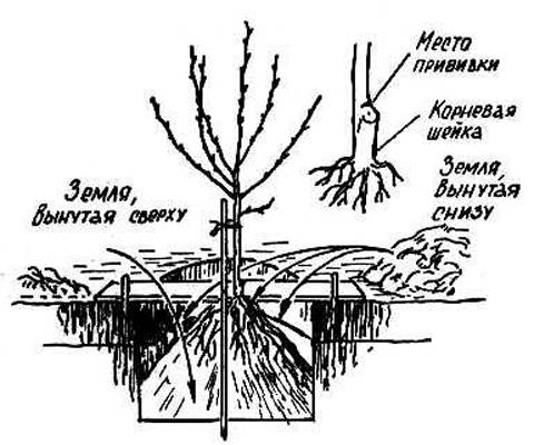 Как сажать фруктовые деревья осенью 8