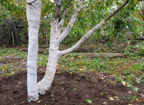 Ствол дерева, укрытый на зиму