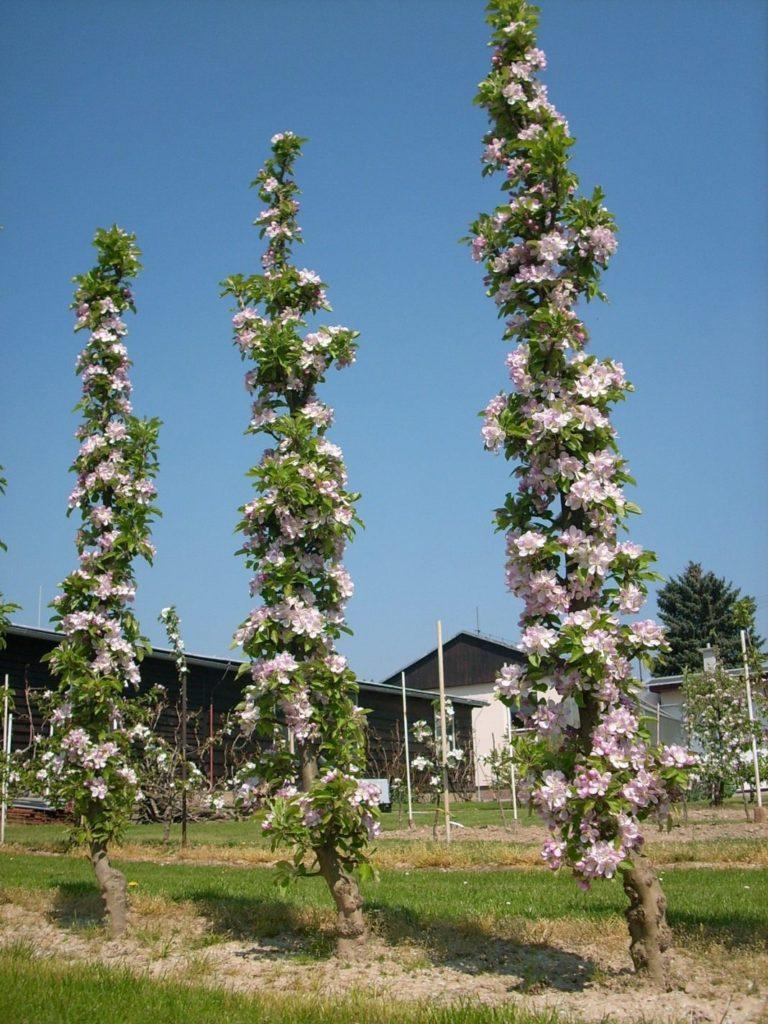 Цветущие колонновидные яблони