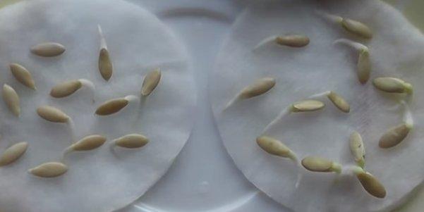 Замоченные семена