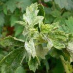 Мучнистая роса на листьях малины