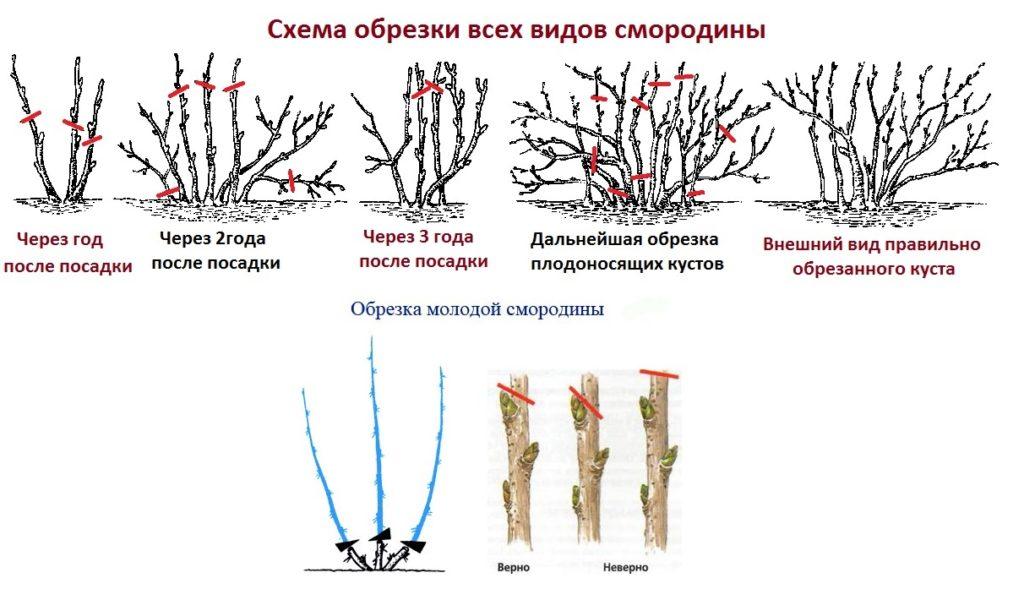 Схематичное описание обрезки смородины