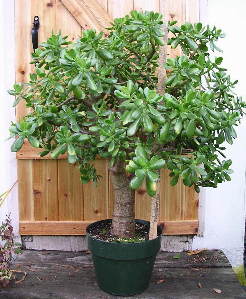 Денежное дерево в горшке