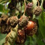 Монилиоз на плодах