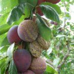 Гниль плодов на сливовом дереве