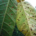 Коккомикоз на листьях