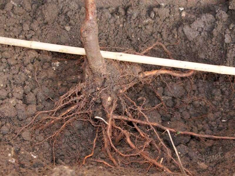 следует надевать корни яблони находятся на повехости Bask company