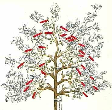 Схема обрезки дерева, посаженного 3 года назад