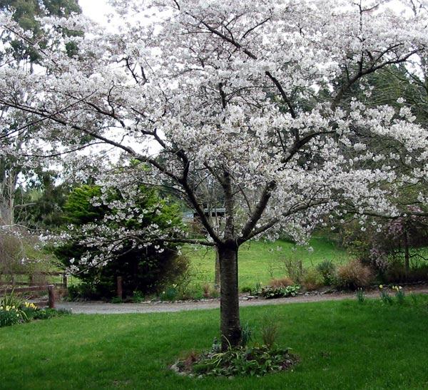 Сливовое дерево в цвету