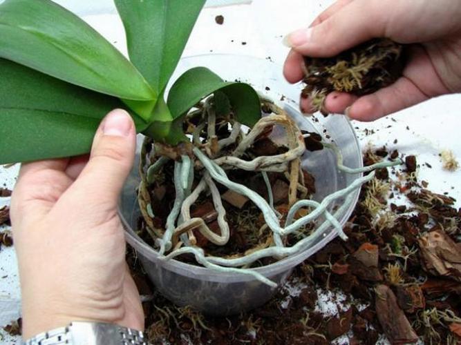 Когда пересадить орхидею в домашних условиях пошаговое 141