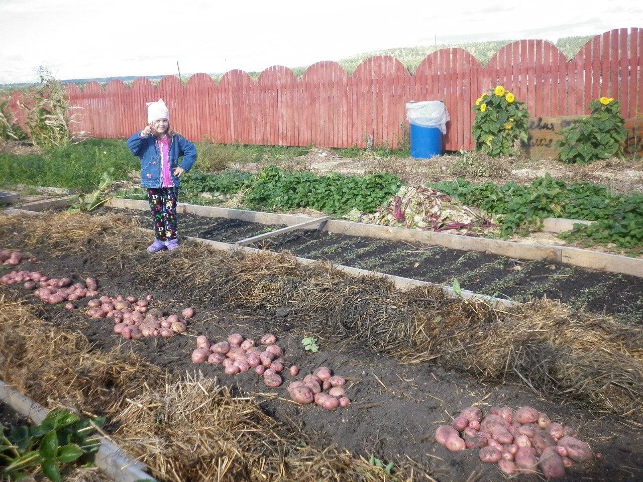 Выращивание картофеля под сеном и соломой 991