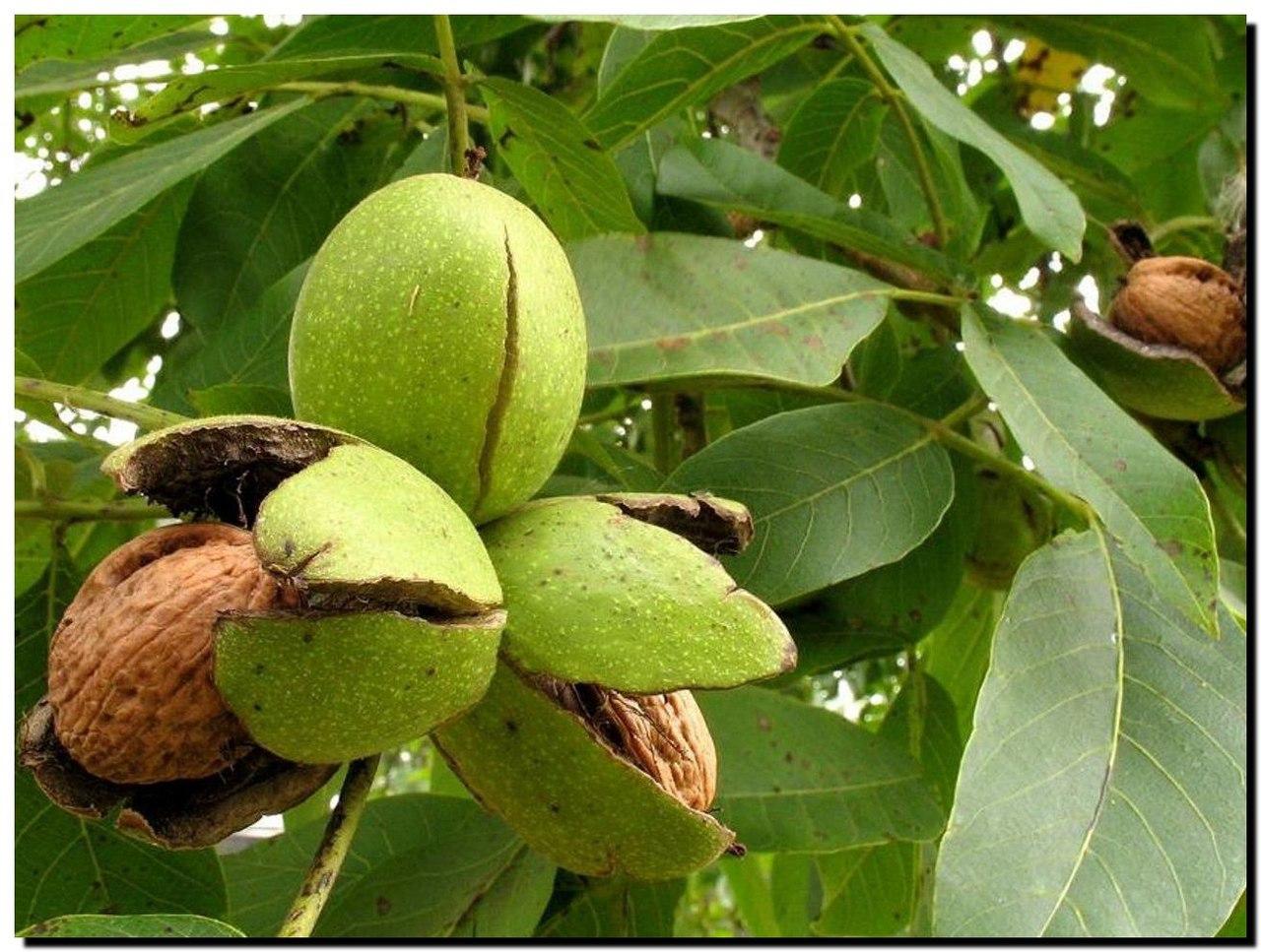 Выращивание грецкого ореха из семян ЧАСТНЫЙ ДОМ. САД 14