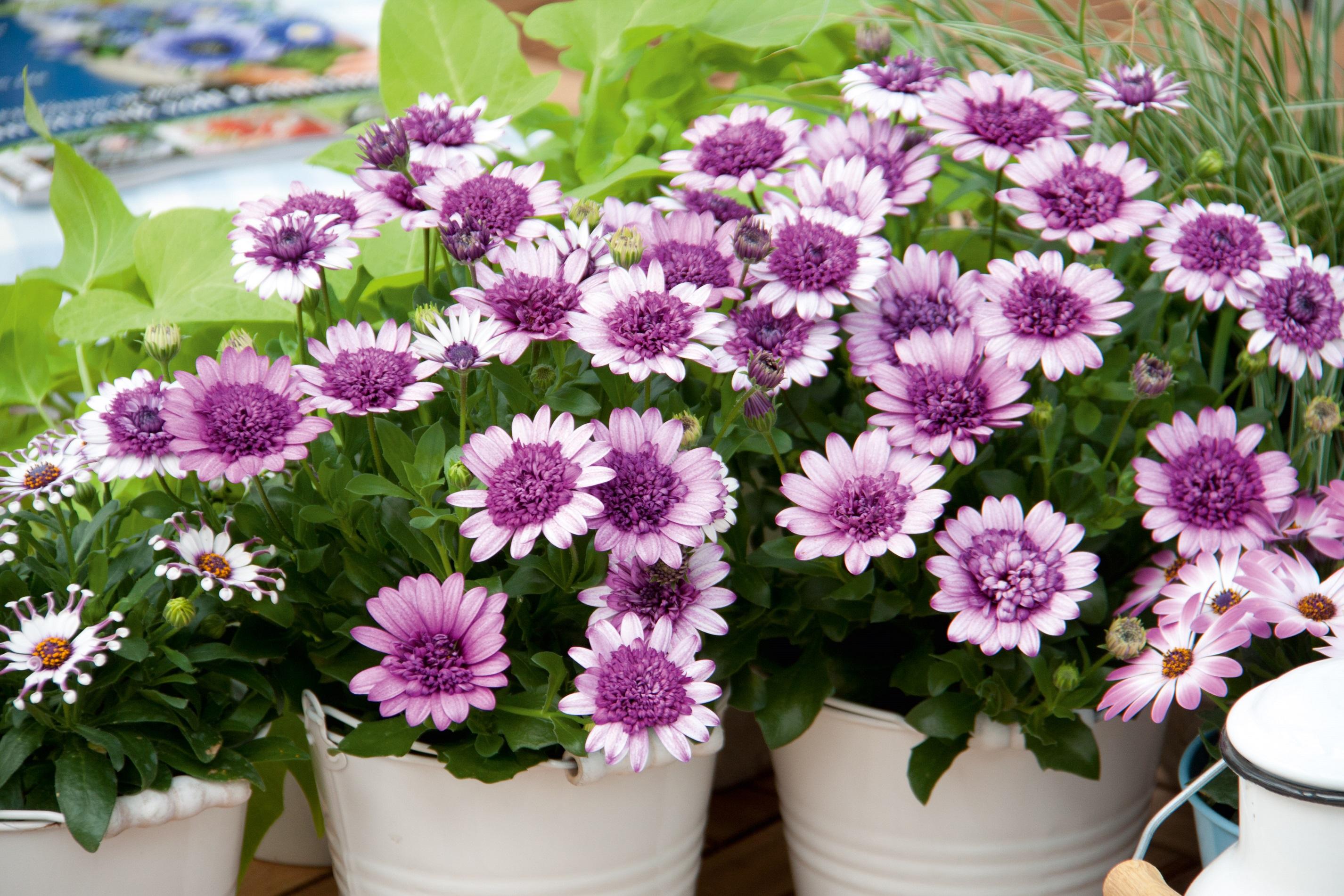 Остеоспермум: выращивание из семян в домашних условиях 28