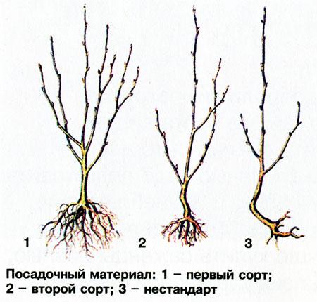 Градация саженцев вишни