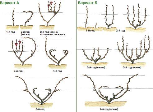 схема обрезки виноградной лозы