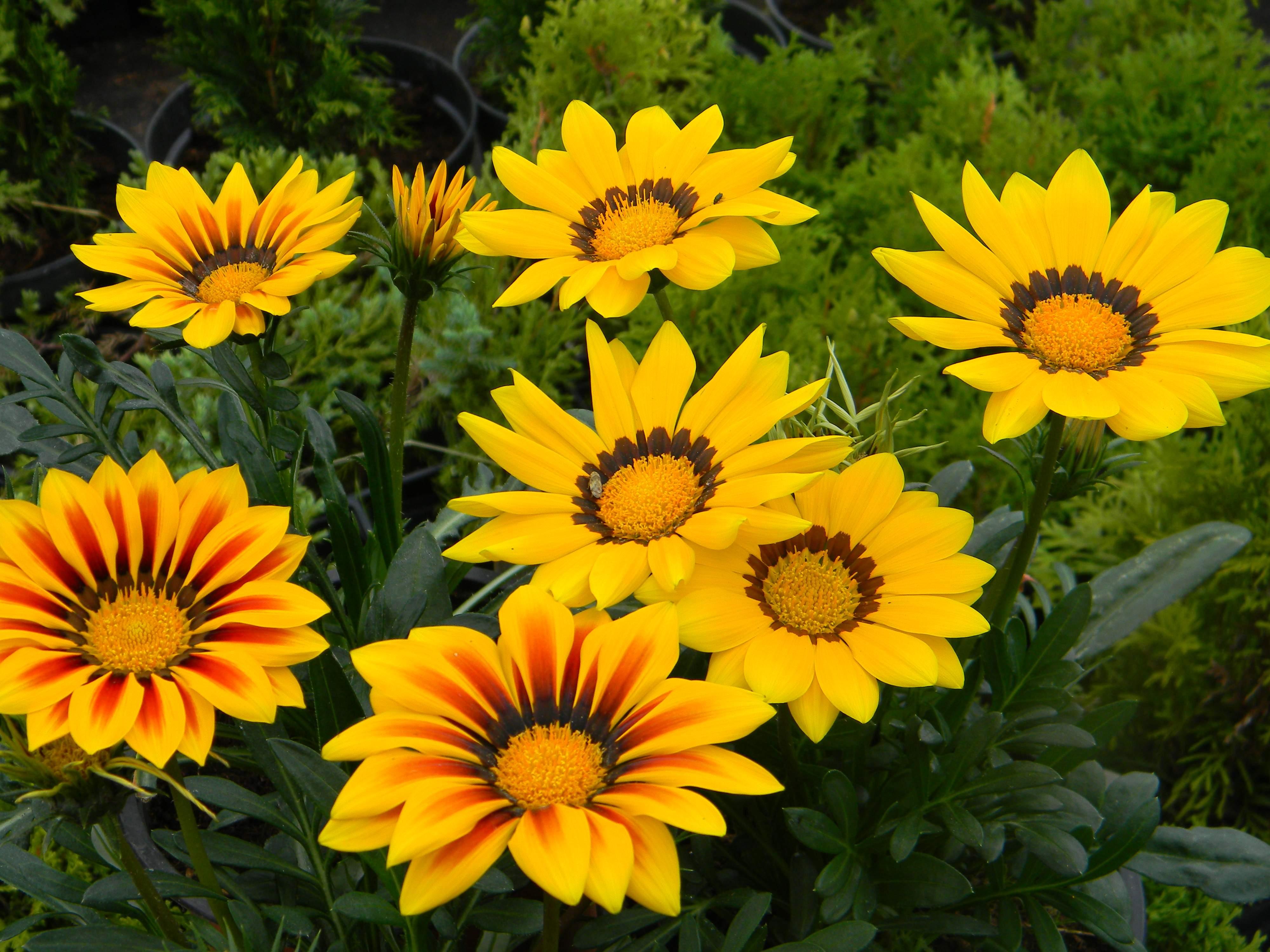 цветы на букву г садовые фото азимута