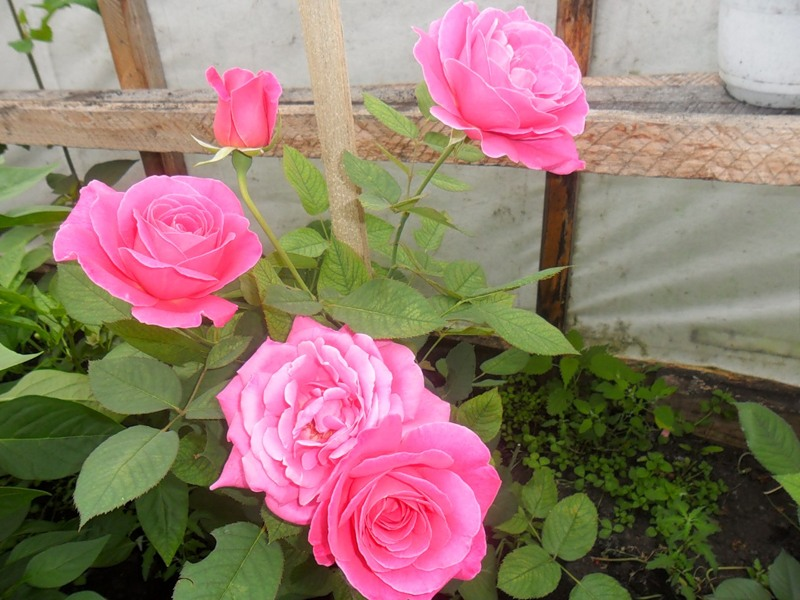 розы в теплице фото