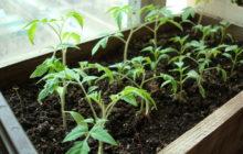 Как вырастить хорошую рассаду томатов?