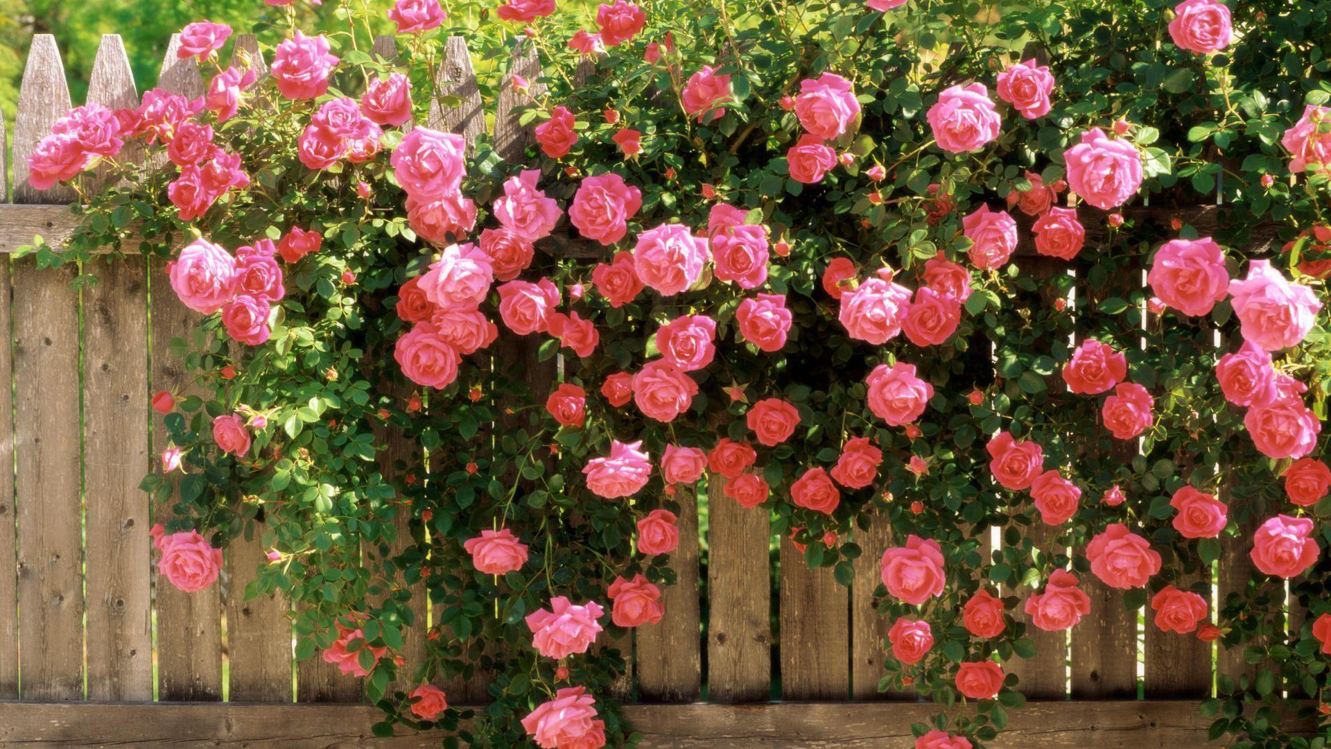 Плетистые розы: сорта и виды
