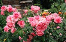 Розы флорибунда: сорта и виды
