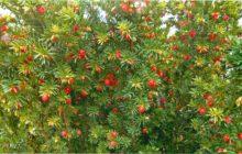 Тис ягодный: описание, уход и посадка, размножение, применение в саду, фото