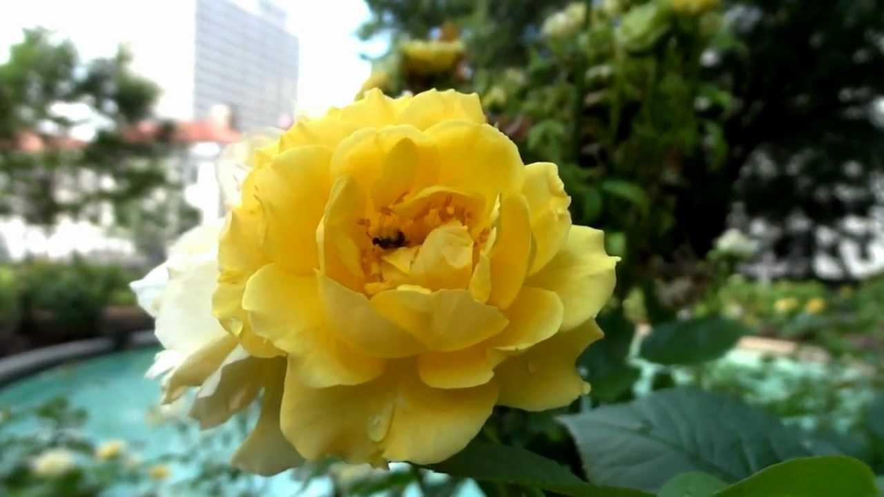 Видео 44. Прекрасный сад, созданный моими родителями