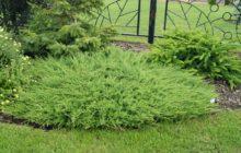 Можжевельник казацкий: описание, уход и посадка, размножение, применение в саду, фото