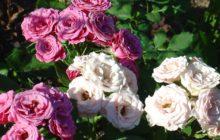 Чайно-гибридные розы: сорта и виды