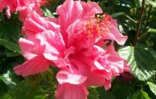 Китайская роза (Гибискус): сорта и виды