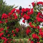 Посадка плетистых роз