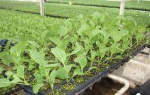 Как получить здоровую рассаду