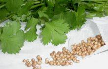 Как выращивать кориандр?