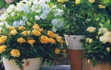 Выращивание роз на балконе