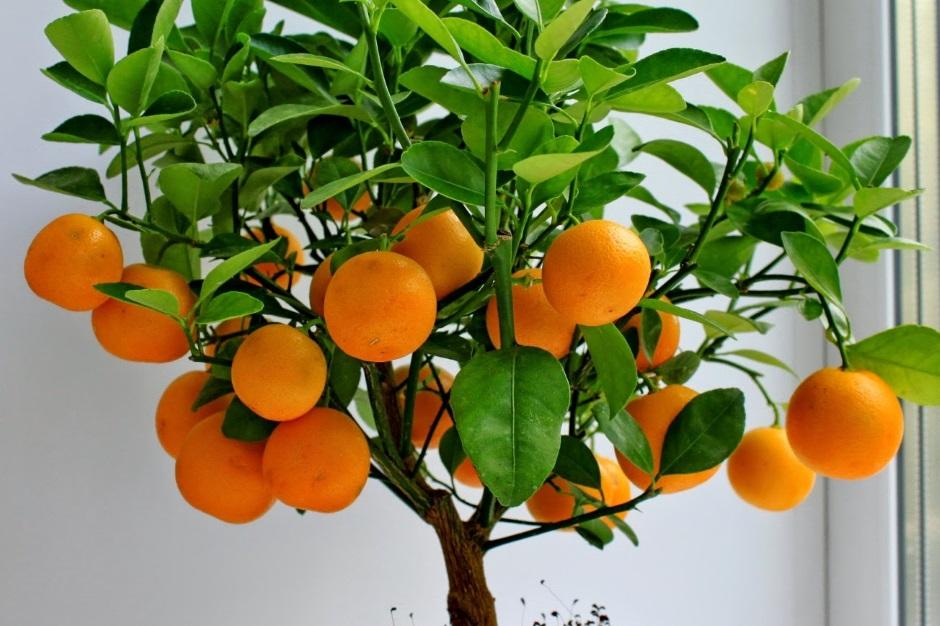 Выращивание мандарина из косточки в домашних условиях