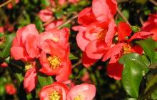 Айва японская (Хеномелес): описание, размножение, уход, посадка, применение в саду, фото, сорта и виды
