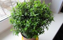 Мирт: описание растения, уход за миртом, размножение мирта