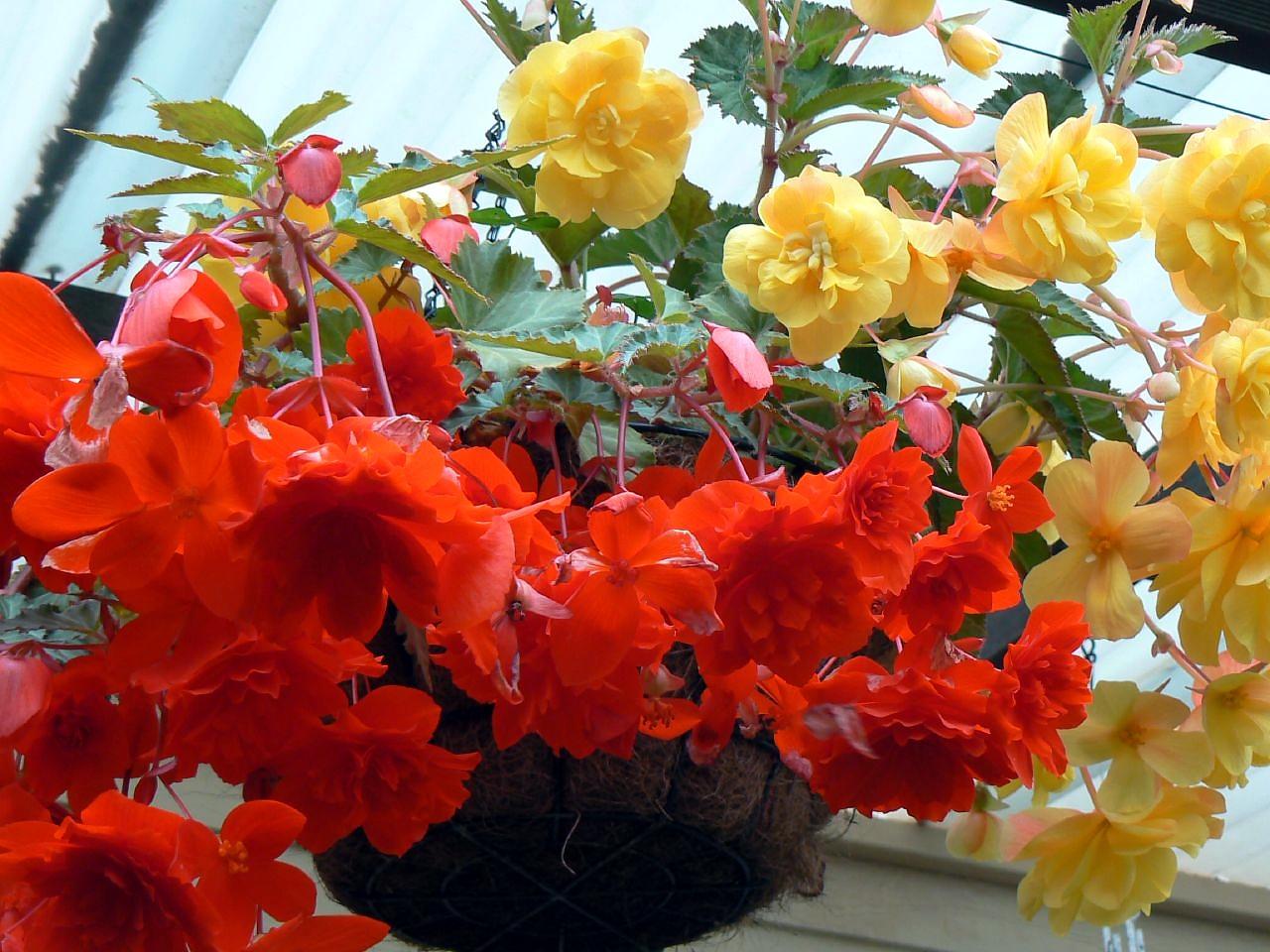 Бегония: описание цветка, уход за бегонией, размножение, выращивание бегонии, бегония фото.