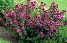 Арункус (Волжанка): описание, размножение, уход, посадка, применение в саду, фото, сорта и виды