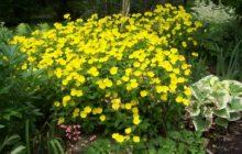 Энотера прекрасная: описание, размножение, уход, посадка, применение в саду, фото, сорта и виды