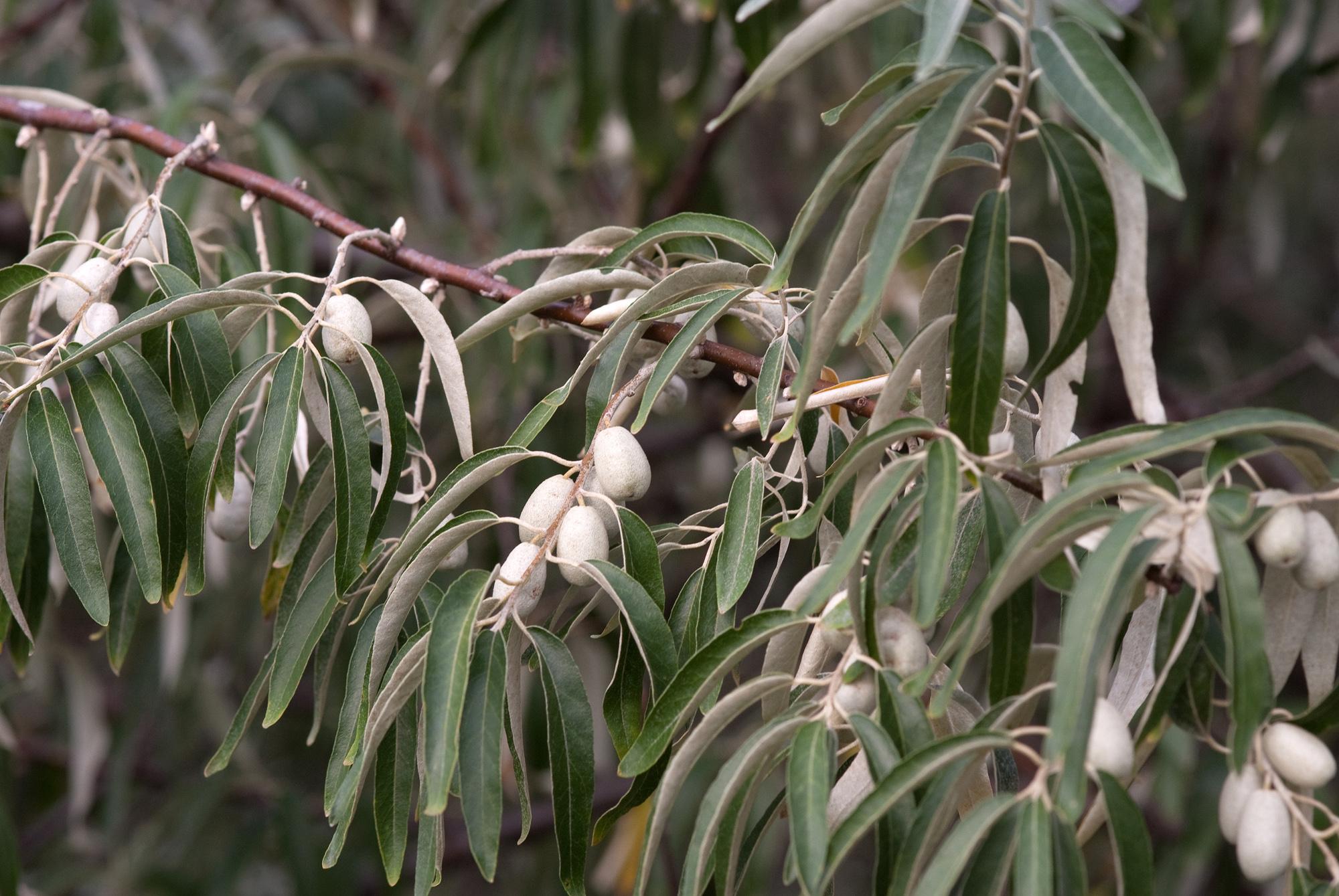 Лох серебристый: описание, размножение, уход, посадка, применение в саду, фото