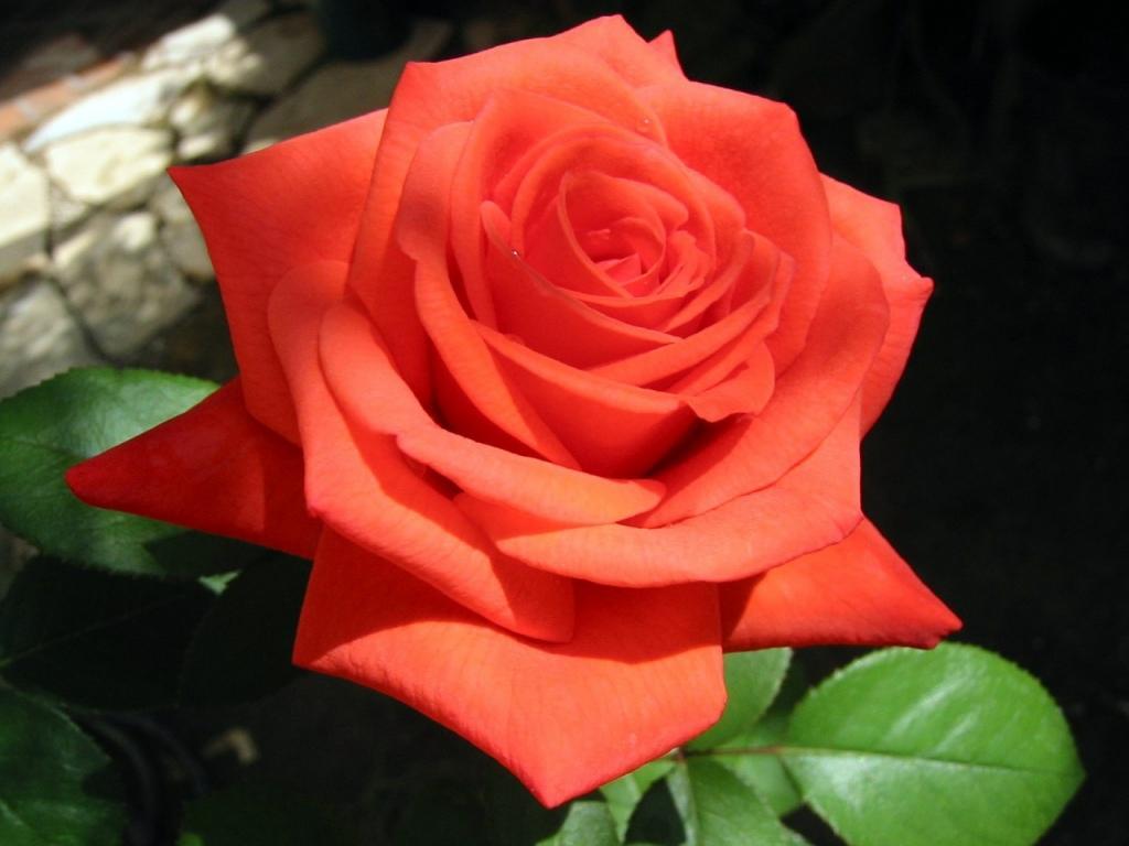 время обрезки роз под зиму