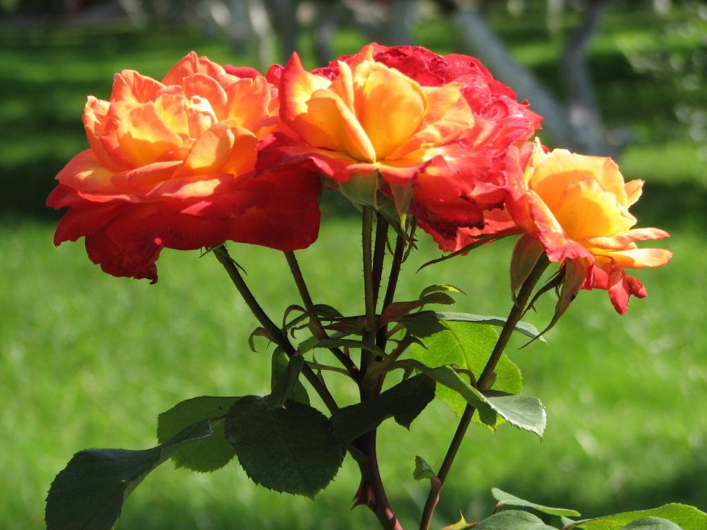 Лучшие сорта патио роз