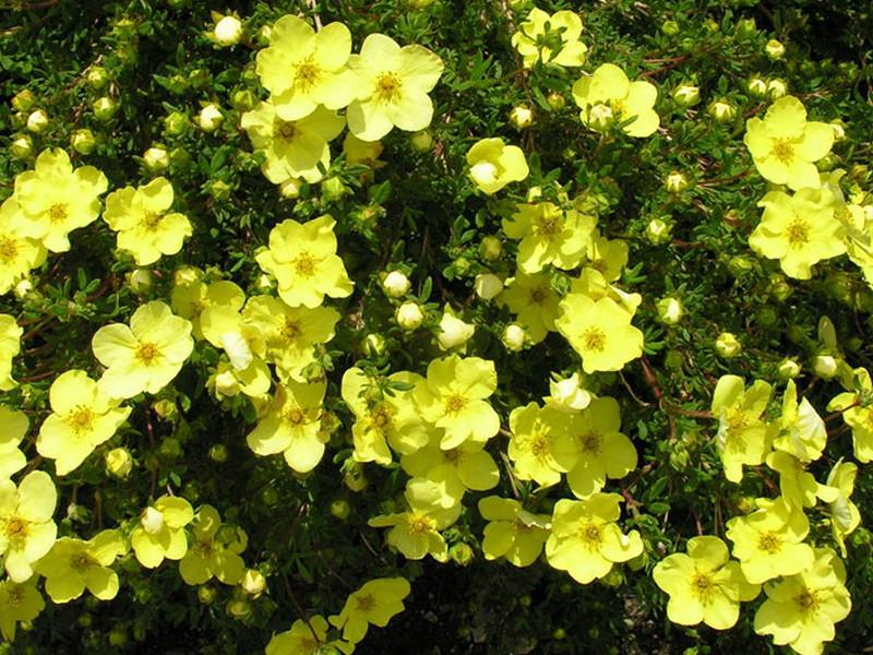Лапчатка (Курильский чай): описание, размножение, уход, посадка, применение в саду, фото, сорта и виды