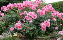 Чего хочет роза