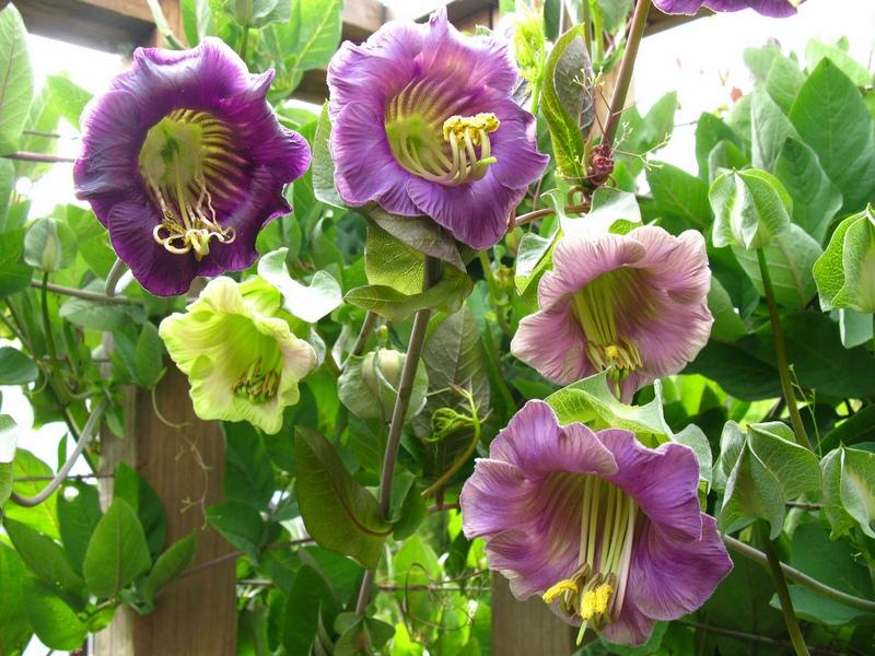 Кобея: описание, размножение, уход, посадка, применение в саду, фото, сорта и виды