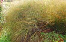 Просо прутьевидное: описание, размножение, уход, применение, фото, сорта