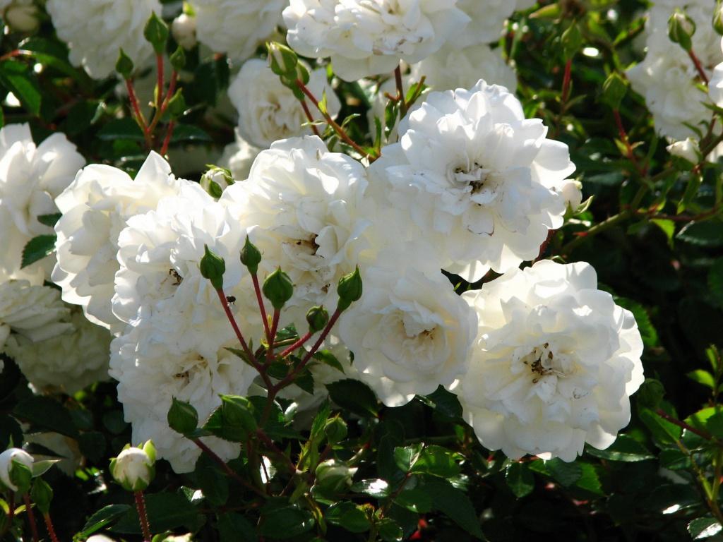 Четыре главных способа размножения роз